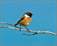 Male Stonechat (Saxicola torquatus), Anglesey, April 2014