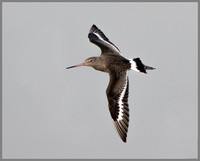 Black-tailed Godwit (Limosa limosa), Slimbridge WWT, November 2014