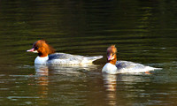 Goosanders, Bittell, January2011