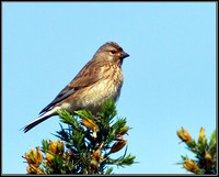 Female Linnet, Anglesey, June 2012