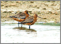 Bar-tailed Godwits, Marsh Lane, 29 April 2011