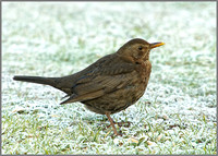 Blackbird (female), Bromsgrove, January 2011