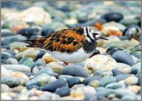 Turnstone, Anglesey, 09 May 2011