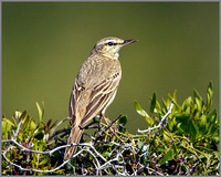 Tawny Pipit (Anthus campestris), Mallorca, May 2014