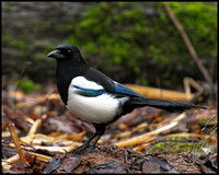 Magpie, Whitacre Heath, 11 December 2009