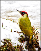 Green Woodpecker, Upton Warren Moors, 11 January 2010