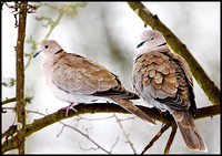 Collared Doves, Bromsgrove, 13 January 2010