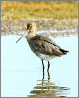 Black-tailed Godwit (Limosa limosa), Norfolk, September 2014