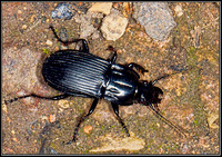 Ground Beetle (Abax parallelepipedus), Chaddesley Wood, 12 August 2012