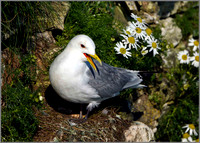 Kittiwake (Rissa tridactyla), Bempton Cliffs, June 2014