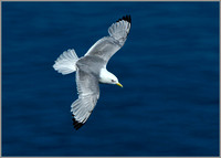 Kittiwake (Rissa tridactyla), Bempton Cliffs, June 2014 w4