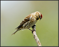 Female Lesser Redpoll, Powys, 18 May 2012