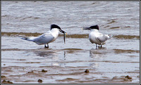 Sandwich Terns, Anglesey, 10 May 2011