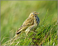 Meadow Pipit (Anthus pratensis), Anglesey, April 2014