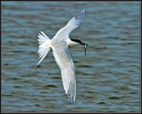 Sandwich Tern, Anglesey, June 2012