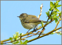 Chiffchaff (Phylloscopus collybita), Anglesey, April 2014
