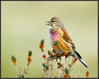 Linnet, Norfolk, April 2012