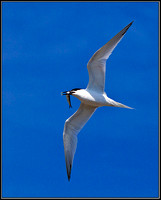 Sandwich Tern, Anglesey, 04 July 2011