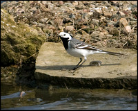 White Wagtail, Upton Warren Flashes, 18 April 2009