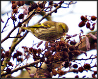 Siskin, Bromsgrove, January 2011