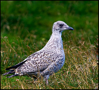 Juvenile Herring Gull, Anglesey, July 2009