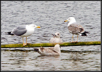 Yellow-legged Gulls, Upton Warren Moors, 08 March 2012
