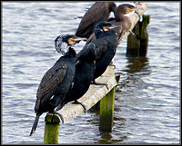 Cormorants, Upton Warren Moors, February 2011