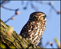 Little Owl, Hopwood, 22 Aprol 2009
