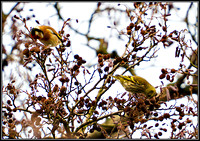 Siskin with Goldfinch (left), Bromsgrove, January 2011