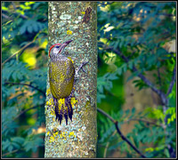 Juvenile Green Woodpecker, Bromsgrove, 04 August 2012