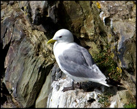 Kittiwake, Anglesey, 23 July 2009