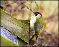 Green Woodpecker, Upton Warren Moors, 25 February 2010