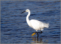 Little Egret (Egretta garzetta), Upton Warren NR, September 2016