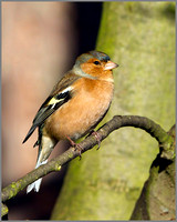 Male Chaffinch (Fringilla coelebs), Warwickshire, January 2014