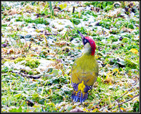 Green Woodpecker, Upton Warren Moors, 01 February 2010