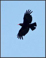 Chough, Anglesey, 03 July 2011