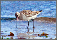 Bar-tailed Godwit, Anglesey, 11 May 2011