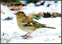 Female Chaffinch, Bromsgrove, 07 February 2012