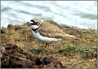 Little Ringed Plover (Charadrius dubius), Upton Warren NR, April 2014