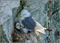 Kittiwake (Rissa tridactyla) with chicks, Bempton Cliffs, June 2014