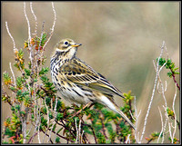 Meadow Pipit, Norfolk, April 2012