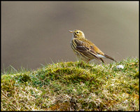 Meadow Pipit, Shropshire, 09 April 2010