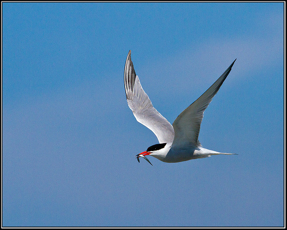 Common Tern, Anglesey, 04 July 2011