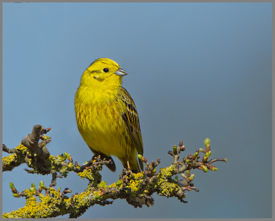 Yellowhammer (Geothlypis trichas), Norfolk, April 2013
