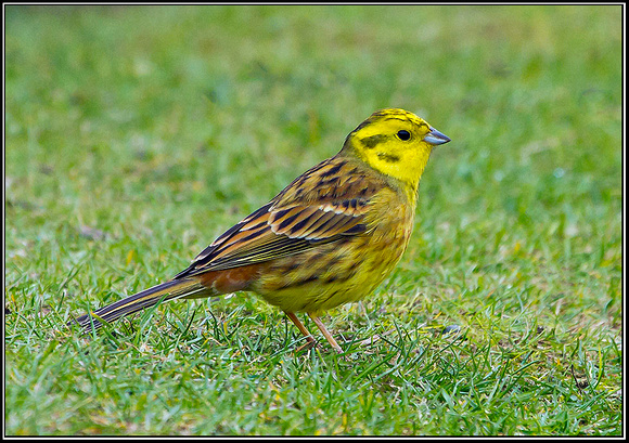 Yellowhammer, Staffordshire, 23 March 2012