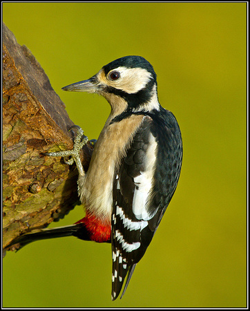 Great Spotted Woodpecker, Bromsgrove, 07 November 2010