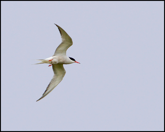 Common Tern, Marsh Lane, June 2010