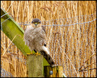 Sparrowhawk, Upton Warren Moors, 25 February 2010
