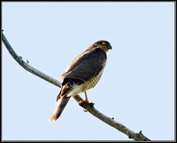 Sparrowhawk, Upton Warren, 19 July 2010