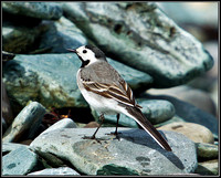 White Wagtail, Anglesey, 09 May 2011